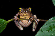 Ecuador Slender-legged Treefrog (Osteocephalus verruciger)<br /> Yasuni National Park, Amazon Rainforest<br /> ECUADOR. South America<br /> HABITAT & RANGE:
