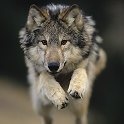 Gray Wolf jumping. Captive Animal