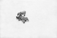 Schweden, SWE, Kolmarden, 2000: Ein Eisbaerenpaar (Ursus maritimus) beim Spielen im Schnee, Kolmardens Djurpark. | Sweden, SWE, Kolmarden, 2000: Polar bear, Ursus maritimus, couple playing on snowfield, Kolmardens Djurpark. |
