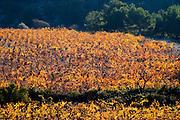 La Clape. Languedoc. Vine leaves. Vineyard. France. Europe.