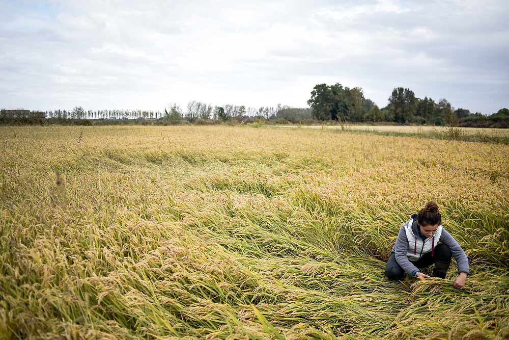Rice producer, Noemi Leva, 24, checks rice plants and counts damages after devastating floods hit the Lomellina region in Langosco, Northern Italy on 6 October 2020. Piero Cruciatti / AFP Photo
