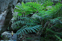 "King Fern (Angiopteris evecta), a ""living fossil"" who's growth form has not changed for 300 million years..An 8 year old boy looks at the enormous King Fern.Ward's Canyon, a small side canyon off Carnarvon Gorge.  Moss and ferns flourish in this area with permanent water."
