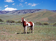 Pinto horse in pasture between Warm Creek and Horse Creek east of Bannack Pass, Idaho.