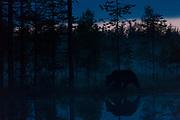 Midnight brown bear. Eastern Finland in August 2015.