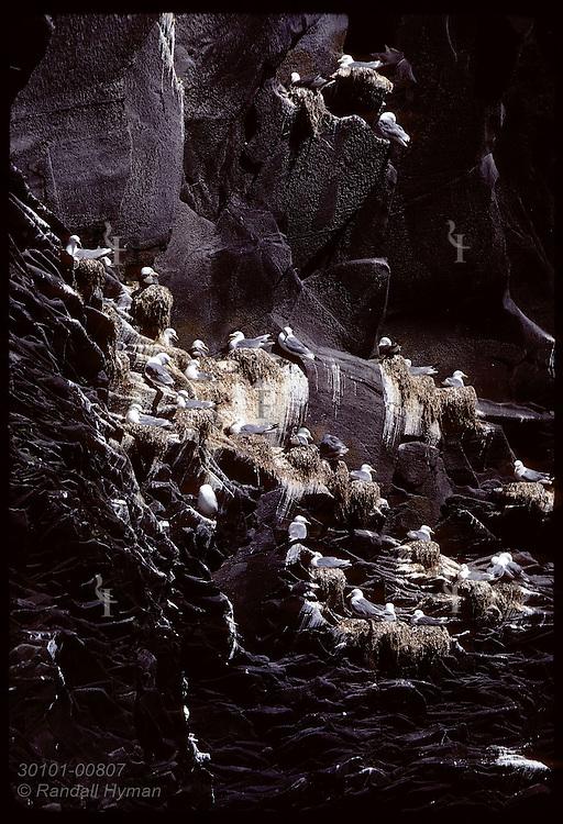 Kittiwakes nest on black ocean cliffs @ Hellnar on Snaefellsnes peninsula in June. Iceland