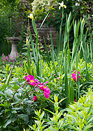 Deep pink Paeonia at Stockton Bury Gardens, Kimbolton, Leominster, Herefordshire, UK