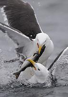 Greater Black-Backed Gull, Larus marinus, Flatanger, Nord-Trondelag, Norway