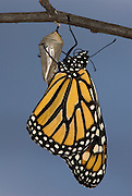 Monarch Butterfly, Danaus plexippus, Hatching from pupae, sequence, drying wings,