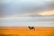 Painted horse near West Yellowtone, Montana.