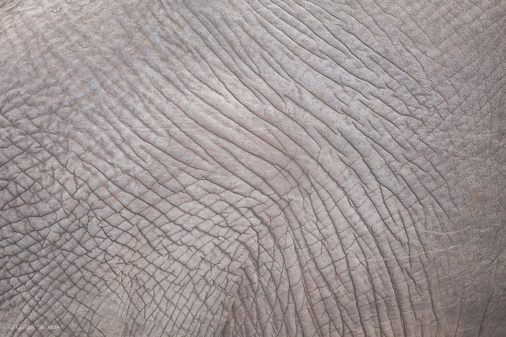 Elephant in Mapungubwe National Park. South Africa.