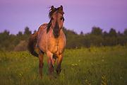 Konik horse (Equus ferus caballus)