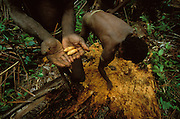 Two Kombai men collect sago grubs found inside a rotten sago palm in Papua, Indonesia. September 2000. The palm was felled seven weeks earlier, wrapped in leaves and then left to rot in order for the scarab beetle to come and lay its eggs inside. The grubs will be consumed during a a sago grub festival. This is the most important religious rite of the Kombai, who are a so-called treehouse people, building thir homes high up in the trees.