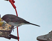 Dark-eyed Junco (Junco hyemalis). Image taken with a Nikon D5 camera and 80-400 mm VR lens.