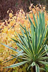 Yucca gloriosa 'Variegata' growing with Cornus sanguineus 'Midwinter Fire'