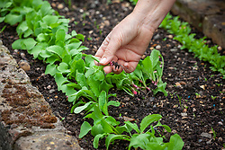 Thinning out a line of young radish seedlings to encourage more productive cropping - Raphanus sativus