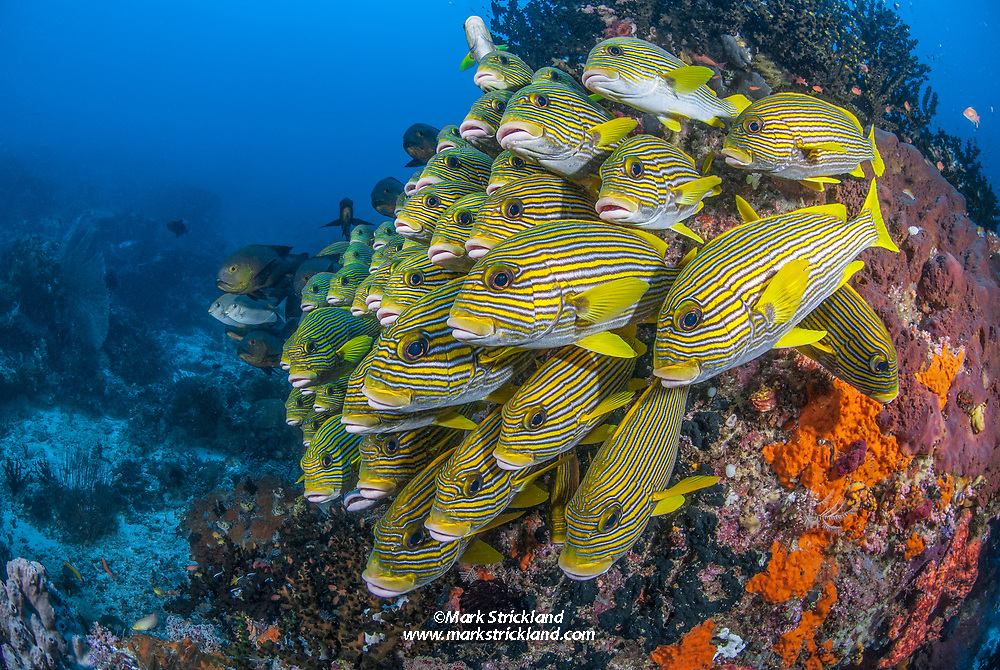 A tightly packed school of Ribbon Sweetlips, Plectorhinchus polytaenia, hover in formation near a coral bommie. Raja Ampat, Indonesia, Pacific Ocean