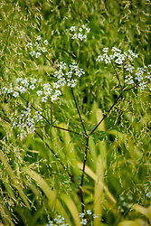 Anthriscus sylvestris growing up through Milium effusum 'Aureum'. Cow parsley, Bowles Golden Grass