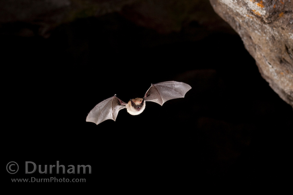 Western Small-footed Myotis (Myotis ciliolabrum) flying out of pond cave, Craters OF The Moon National Monument, Idaho.