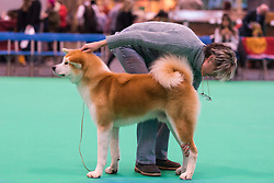 © Licensed to London News Pictures. 10/03/2016. A dog owner and their dog on the competition show floor . Crufts celebrates its 12th anniversary as the Worlds largest dog show. Birmingham, UK. Photo credit: Ray Tang/LNP