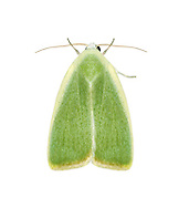 74.011 (2418)<br /> Cream-bordered Green Pea - Earias clorana
