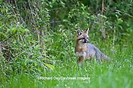 01867-00113 Gray Fox (Urocyon cinereoargenteus) female in field, Holmes Co, MS