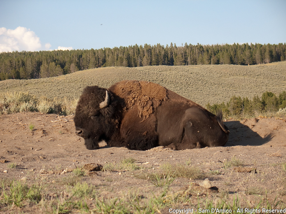 A Bison In A Wallow. Yellowstone, National Park.