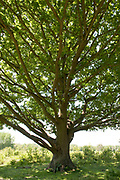 English Oak Tree, Quercus robur, Hothfield Heathlands, Kent UK, Kent Wildlife Trust, view looking up tree trunk showing leaves and branches, British native tree,