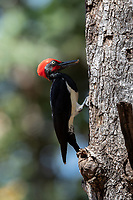 The white-bellied woodpecker or great black woodpecker (Dryocopus javensis) is found in evergreen forests of tropical Asia, including the Indian subcontinent and Southeast Asia. Photographed in Huai Kha Khaeng Wildlife Sanctuary, Thailand.