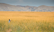 Harvester collecting reeds, Lake Titicaka, Puno, Peru, South America