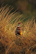 A male Pheasant is posing in the late evening light on the isle of Texel, the Netherlands