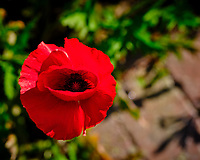 Red Oriental Poppy. Image taken with a Fuji X-T3 camera and 80 mm f/2.8 OIS macro lens (ISO 160, 80 mm, f/5.6, 1/210 sec).