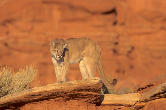 Mountain Lion or Cougar, (Felis concolor) In canyonlands of southern Utah. Red rock country.  Captive Animal.