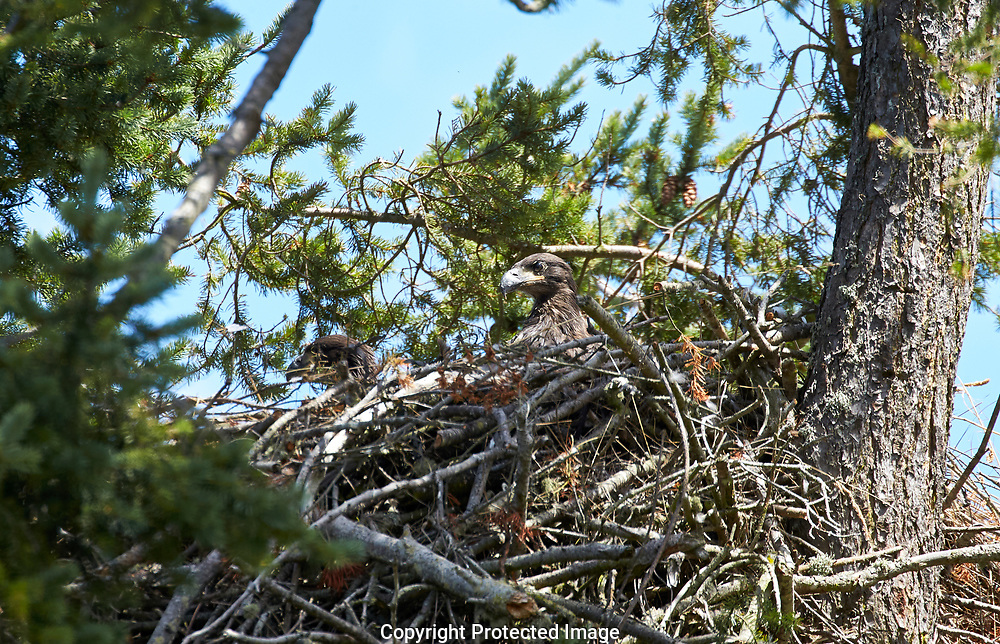 Eagles both adults and chicks in a nest in the Dunguness area of Sequin, Washington, Saturday, June 29, 2019. (Photo/John Froschauer)