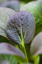 Young baby leaves of red Pak Choi. Brassica chinensis
