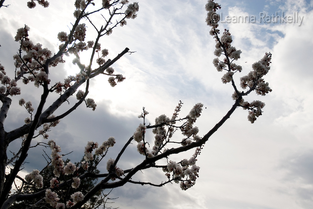 Apricot flower tree branches against sky in the Okanagan, BC Canada