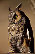 Long eared owl Asio otus, hunts rodents, normally at night, roosts in trees in daytime, Fort Collins foothills, Colorado.
