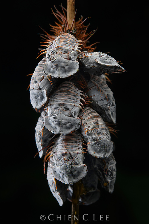 Looking like a bunch of trilobite sarcophagi, a cluster of tortoise beetle pupae remain huddled together as they wait to pupate into adults. Although blind, immobile and otherwise defenseless in this stage, each pupa is capable of flexing its body up and down when disturbed, and the combined motion of the entire group may serve to befuddle a potential predator or parasite. Sumaco Napo-Galeras National Park, Napo, Ecuador.
