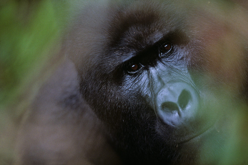 Uganda, Bwindi Impenetrable National Park, Adult Male (Silverback) Mountain Gorilla (Gorilla gorilla beringei) in rainforest