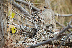 Young bobcat walking through forest, Trinity River Audubon Center, Great Trinity Forest, Dallas, Texas, USA