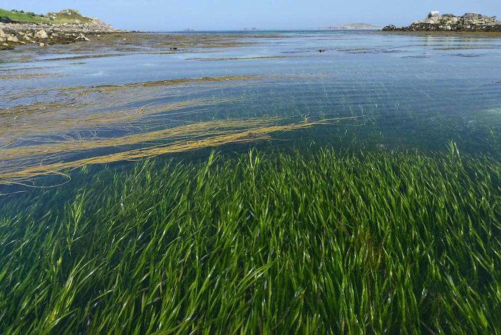 Eelgrass - Zostera marina. Eelgrass bed, off St Helen's, Isles of Scilly.