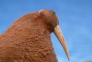 Walrus, Odobenus rosmarus, Chukotka, Russia