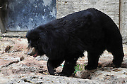 Asiatic Black Bear (Selenarctos tibetanus)