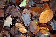 Carpet of deciduous leaves, Thornden Woodlands, Kent, UK, in autumn, woodland floor,colourful