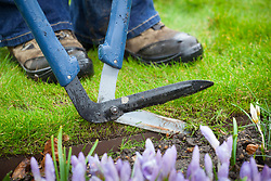 Clipping a lawn edge with long handled shears