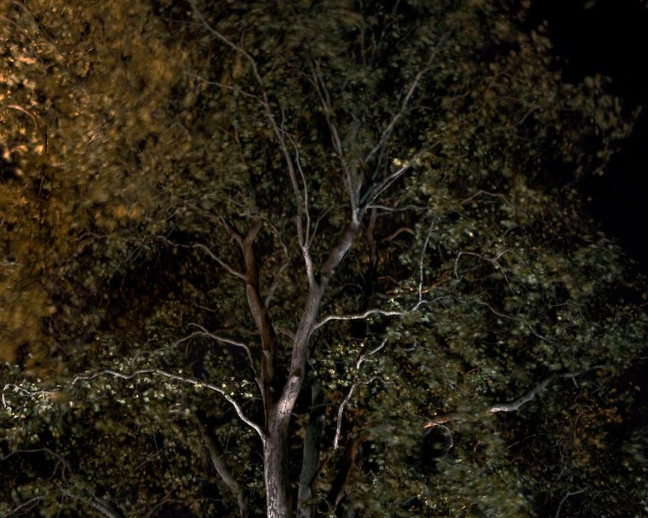 Autumn Trees on a windy night