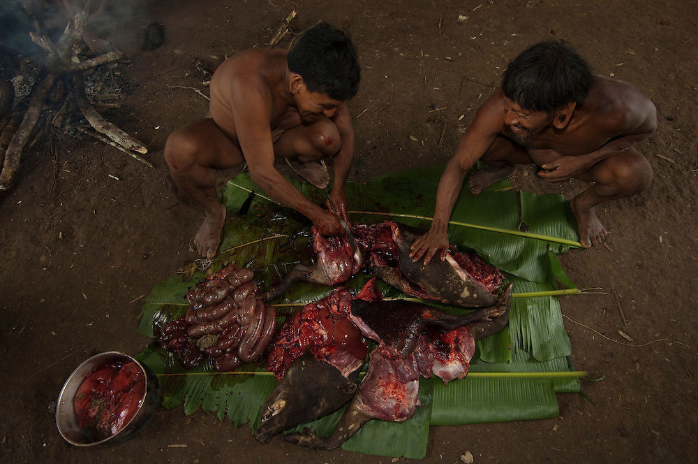 Huaorani Indians Baiwa Miipo and Menewa Wane butchering a peccary before cutting it up to either boil or smoke it.<br /> Bameno Community. Yasuni National Park.<br /> Amazon rainforest, ECUADOR.  South America<br /> This Indian tribe were basically uncontacted until 1956 when missionaries from the Summer Institute of Linguistics made contact with them. However there are still some groups from the tribe that remain uncontacted.  They are known as the Tagaeri & Taromenane. Traditionally these Indians were very hostile and killed many people who tried to enter into their territory. Their territory is in the Yasuni National Park which is now also being exploited for oil.