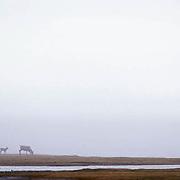 Barren Ground Caribou, (Rangifer arcticus) In Arctic National Wildlife Refuge. ANWR. Alaska.