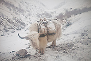 A white yak after a light snow fall. In Zan Kuk. .Trekking back down from the Little Pamir, with yak caravan, over the frozen Wakhan river.