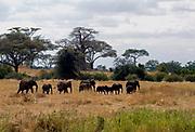 Migrating African elephants in tarangire National Park, Tanzania.