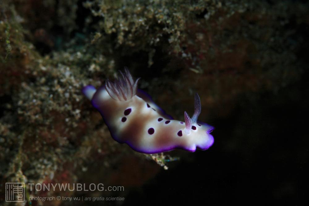 Risbecia tryoni nudibranch in Ambon, Indonesia